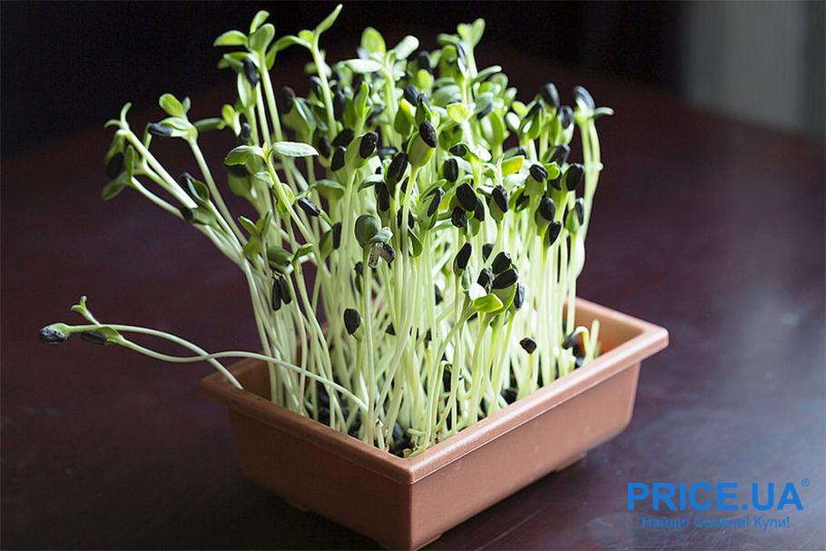 Правила выращивания микрогрина у себя дома
