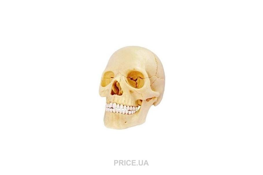 Самые интересные игрушки-девайсы для детей-гиков. 4D-модель черепа