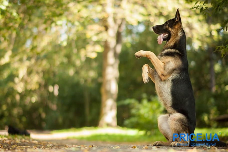 Секреты правильного выгула собаки.  Учите командам