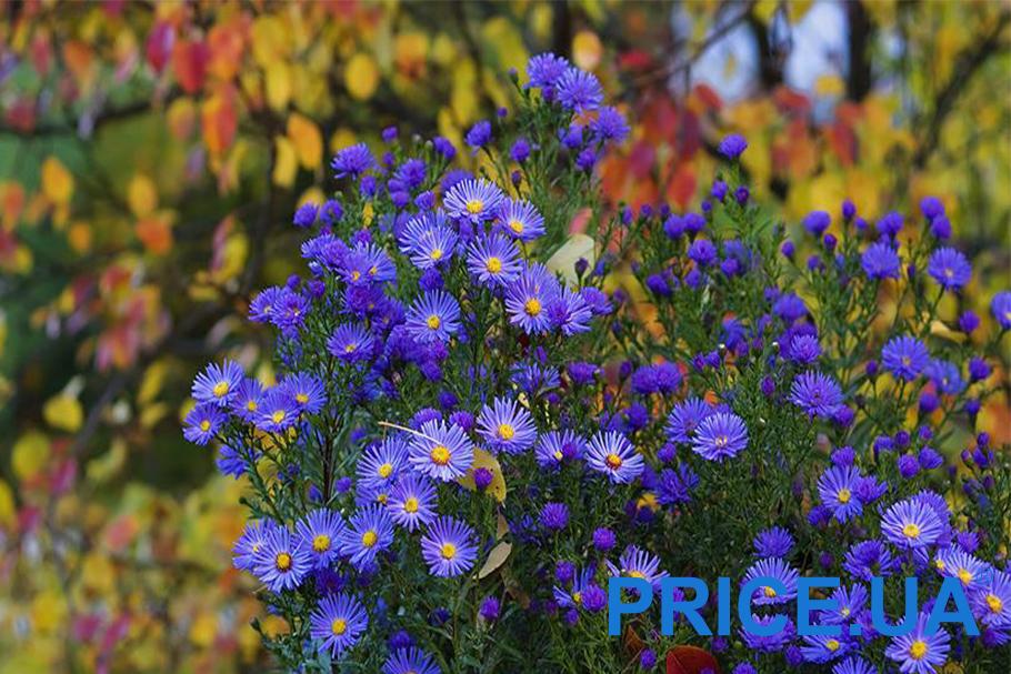 Самые эффектные и полезные растения для дачи. Многолетние астры