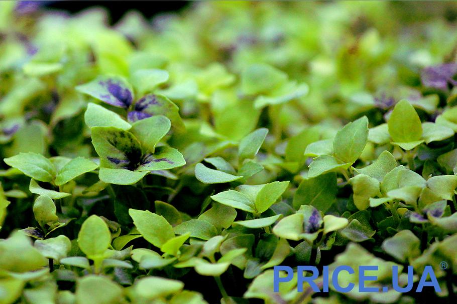 Самые эффектные и полезные растения для дачи. Базилик