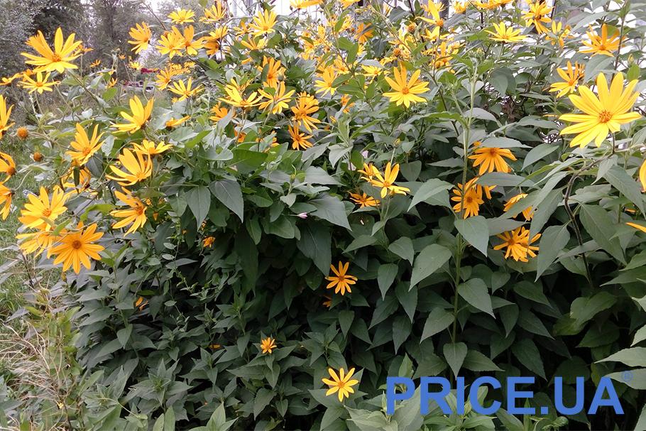 Самые эффектные и полезные растения для дачи. Топинабур