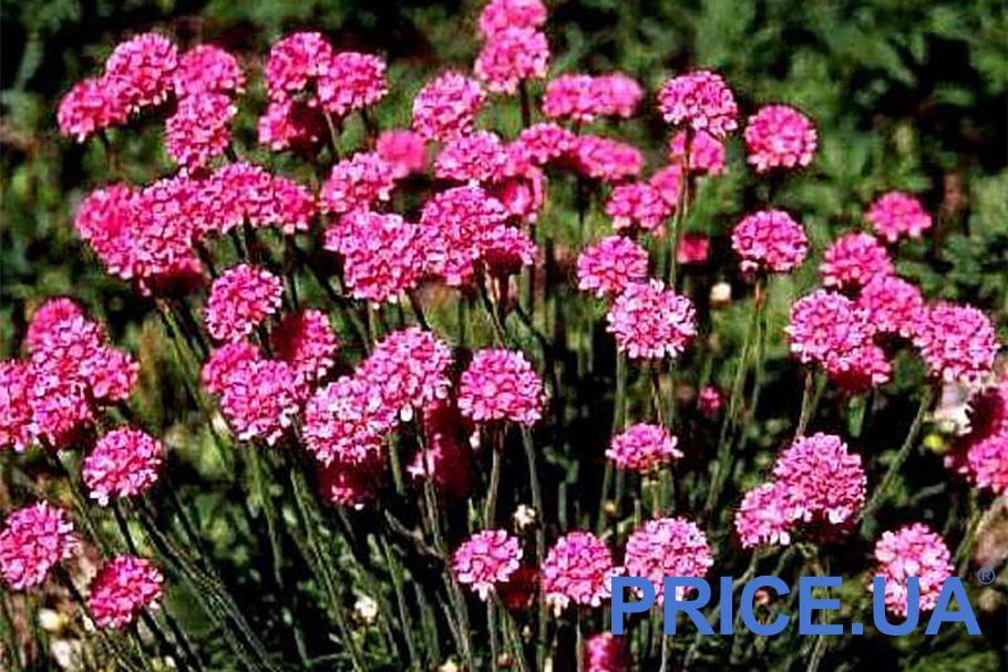 Самые эффектные и полезные растения для дачи. Армерия