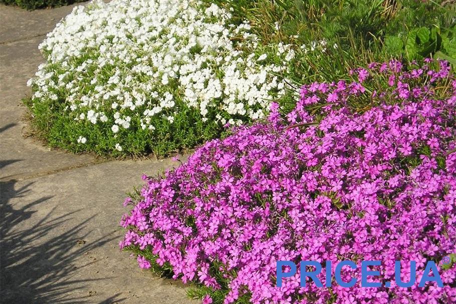Самые эффектные и полезные растения для дачи. Шиловидный флокс