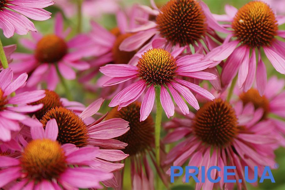 Самые эффектные и полезные растения для дачи. Эхинацея