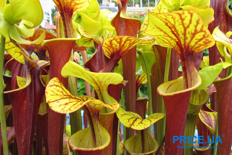 Хищные растения для дома. Саррацения