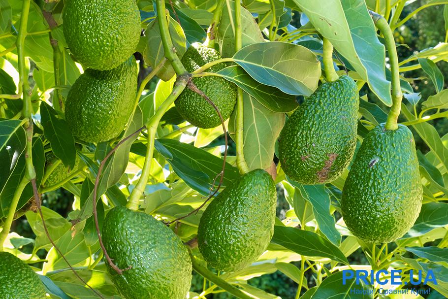 Как вырастить авокадо из косточки: пересадка и формирование кроны
