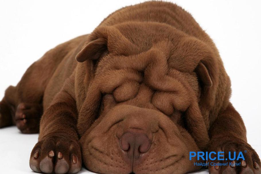 Лучшие породы собак для городских условий. Шарпей