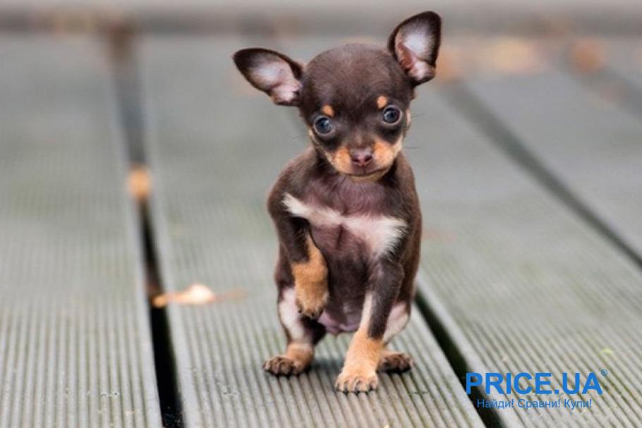 Лучшие породы собак для городских условий. Чихуахуа