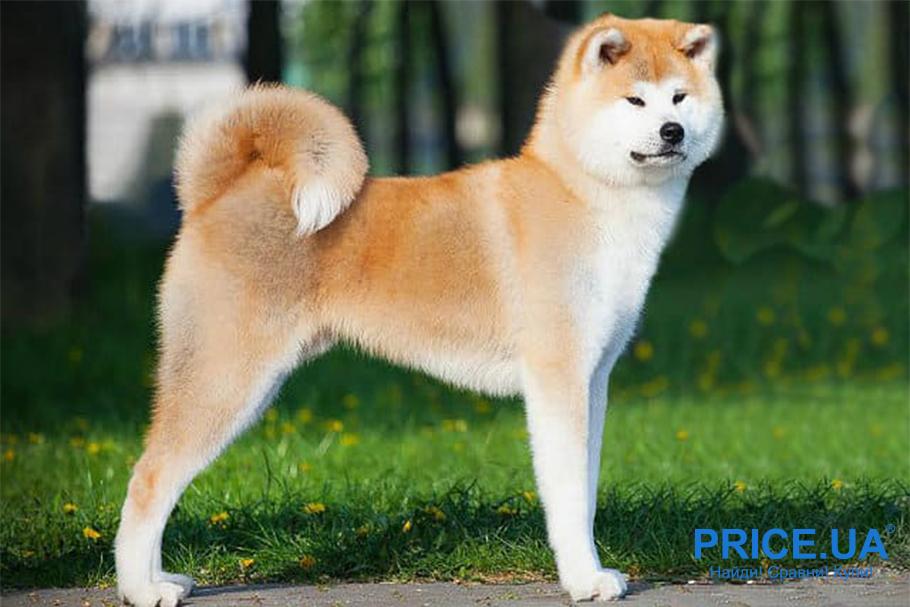 Лучшие породы собак для городских условий. Акита-ину