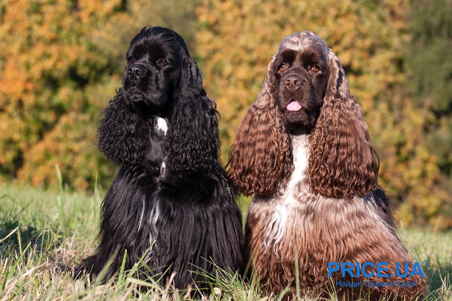 Лучшие породы собак для городских условий. Американский кокер-спаниель