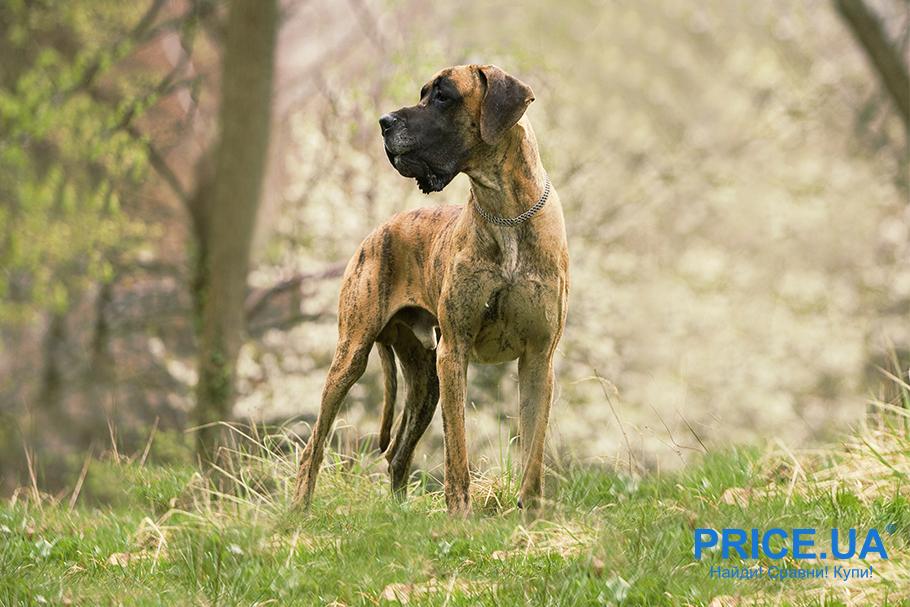 Лучшие породы собак для городских условий. Немецкий дог