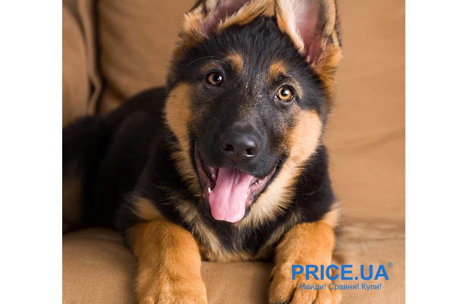 Лучшие породы собак для городских условий. Немецкая овчарка