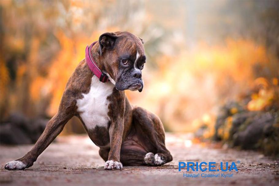 Лучшие породы собак для городских условий. Боксер